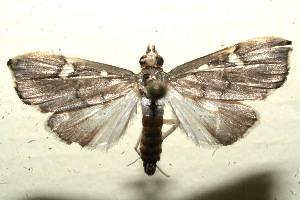 (Deuterophysa albilunalis - 11-SRNP-102494)  @14 [ ] CreativeCommons - Attribution Non-Commercial Share-Alike (2011) Daniel H. Janzen Guanacaste Dry Forest Conservation Fund