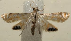 (Petrophila BioLep04 - 11-SRNP-104030)  @13 [ ] CreativeCommons - Attribution Non-Commercial Share-Alike (2010) Daniel H. Janzen Guanacaste Dry Forest Conservation Fund