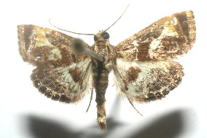 (Cosmopterosis jasonhalli - 11-SRNP-104539)  @14 [ ] CreativeCommons - Attribution Non-Commercial Share-Alike (2010) Daniel H. Janzen Guanacaste Dry Forest Conservation Fund