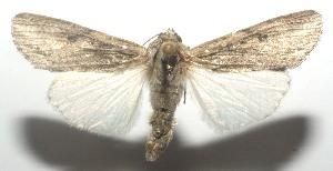 (Spodoptera albula - 11-SRNP-105469)  @14 [ ] CreativeCommons - Attribution Non-Commercial Share-Alike (2010) Daniel H. Janzen Guanacaste Dry Forest Conservation Fund