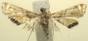 (Petrophila BioLep361 - 12-SRNP-100872)  @13 [ ] CreativeCommons - Attribution Non-Commercial Share-Alike (2010) Daniel H. Janzen Guanacaste Dry Forest Conservation Fund