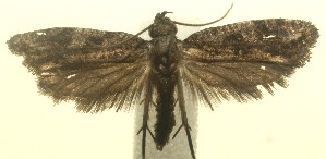 (Acrolophus BioLep455 - 12-SRNP-102521)  @14 [ ] CreativeCommons - Attribution Non-Commercial Share-Alike (2013) Daniel H. Janzen Guanacaste Dry Forest Conservation Fund