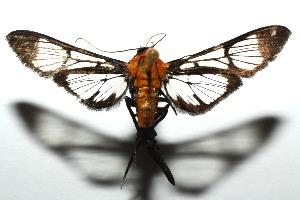 (Trichaea pilicornisDHJ01 - 12-SRNP-103569)  @14 [ ] CreativeCommons - Attribution Non-Commercial Share-Alike (2013) Daniel H. Janzen Guanacaste Dry Forest Conservation Fund