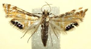 (Petrophila Biolep623 - 12-SRNP-105235)  @14 [ ] CreativeCommons - Attribution Non-Commercial Share-Alike (2014) Daniel H. Janzen Guanacaste Dry Forest Conservation Fund