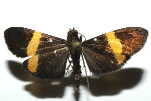 (spiloBioLep01 BioLep384 - 12-SRNP-105649)  @14 [ ] CreativeCommons - Attribution Non-Commercial Share-Alike (2014) Daniel H. Janzen Guanacaste Dry Forest Conservation Fund