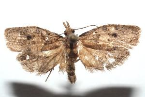 (Sparganothoides - 14-SRNP-101468)  @15 [ ] CreativeCommons - Attribution Non-Commercial Share-Alike (2014) Daniel H. Janzen Guanacaste Dry Forest Conservation Fund