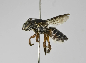 (Megachile sp. 4 - B1397-G09)  @14 [ ] CreativeCommons - Attribution Non-Commercial Share-Alike (2010) Packer Collection at York University York University