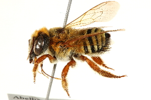 (Megachile botucatuna - 06708C10-BRA)  @14 [ ] CreativeCommons - Attribution Non-Commercial Share-Alike (2016) CBG Photography Group Centre for Biodiversity Genomics