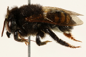 (Megachile iheringi - 06708C11-BRA)  @11 [ ] CreativeCommons - Attribution Non-Commercial Share-Alike (2016) CBG Photography Group Centre for Biodiversity Genomics