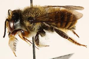 (Megachile terrestris - 06708D06-BRA)  @11 [ ] CreativeCommons - Attribution Non-Commercial Share-Alike (2016) CBG Photography Group Centre for Biodiversity Genomics