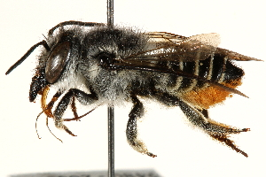 (Megachile rava - 06708D08-BRA)  @11 [ ] CreativeCommons - Attribution Non-Commercial Share-Alike (2016) CBG Photography Group Centre for Biodiversity Genomics