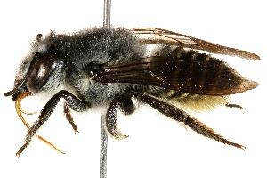 (Megachile rava - 06708D12-BRA)  @11 [ ] CreativeCommons - Attribution Non-Commercial Share-Alike (2016) CBG Photography Group Centre for Biodiversity Genomics