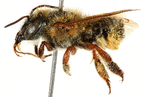 (Megachile susurrans - 06708F06-BRA)  @11 [ ] CreativeCommons - Attribution Non-Commercial Share-Alike (2016) CBG Photography Group Centre for Biodiversity Genomics
