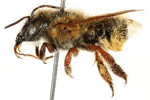 (Megachile susurrans - 06708F06-BRA)  @11 [ ] CreativeCommons - Attribution Non-Commercial Share-Alike (2016) CBG Photography Group Centre for Biodiversity Genomics