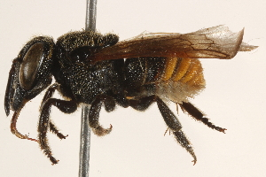 (Anthodioctes megachiloides - 06708G05-BRA)  @11 [ ] CreativeCommons - Attribution Non-Commercial Share-Alike (2016) CBG Photography Group Centre for Biodiversity Genomics