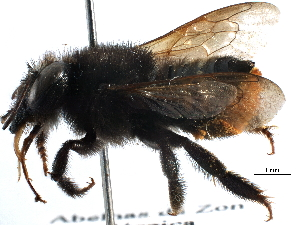 (Megachile anthidioides - 06730C04-BRA)  @11 [ ] CreativeCommons - Attribution Non-Commercial Share-Alike (2016) CBG Photography Group Centre for Biodiversity Genomics