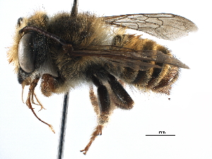 (Megachile aureiventris - 06730C09-BRA)  @14 [ ] CreativeCommons - Attribution Non-Commercial Share-Alike (2016) CBG Photography Group Centre for Biodiversity Genomics