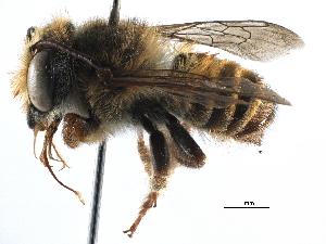 (Megachile aureiventris - 06730C09-BRA)  @14 [ ] CreativeCommons - Attribution Non-Commercial Share-Alike (2016) CBG Photography Group Centre for Biodiversity Genomics