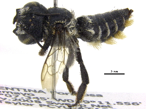 (Megachile ARG03 - 06743B09-ARG)  @14 [ ] CreativeCommons - Attribution Non-Commercial Share-Alike (2016) CBG Photography Group Centre for Biodiversity Genomics