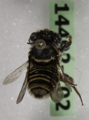 (Megachile VEN01 - 14492-C02)  @11 [ ] CreativeCommons - Attribution Non-Commercial Share-Alike (2012) Packer Collection York University York University