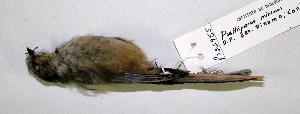 (Aegithalidae - CNAV022955)  @15 [ ] CreativeCommons - Attribution Non-Commercial Share-Alike (2011) Patricia Escalante Pliego Universidad Nacional Autonoma de Mexico, Instituto de Biologia
