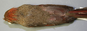 (Cardinalidae - CNAV023286)  @15 [ ] Unspecified (default): All Rights Reserved  Unspecified Unspecified