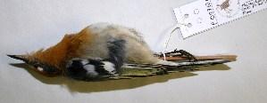 (Peucedramidae - CNAV027101)  @14 [ ] CreativeCommons - Attribution Non-Commercial Share-Alike (2011) Patricia Escalante Pliego Universidad Nacional Autonoma de Mexico, Instituto de Biologia