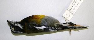 (Spindalidae - CNAV023244)  @11 [ ] CreativeCommons - Attribution Non-Commercial Share-Alike (2011) Patricia Escalante Pliego Universidad Nacional Autonoma de Mexico, Instituto de Biologia