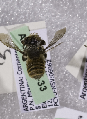 (Megachile ARG08 - ARG-6830-33)  @13 [ ] CreativeCommons - Attribution Non-Commercial Share-Alike (2011) Packer Collection York University York University