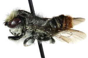 (Megachile ecuadoria - 06729B11-CHL)  @13 [ ] CreativeCommons - Attribution Non-Commercial Share-Alike (2015) CBG Photography Group Centre for Biodiversity Genomics