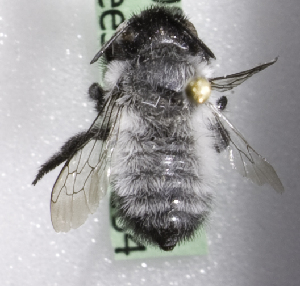 (Megachile CHL03 - CCDB-09858 G12)  @13 [ ] Copyright (2010) Laurence Packer York University
