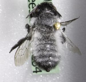 (Megachile CHL03 - CCDB-09858 G12)  @13 [ ] Copyright (2010) Laurence Packer York University