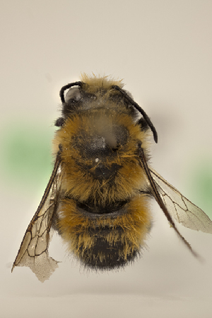 (Megachile santacrucensis - CCDB-30384 D06)  @11 [ ] CreativeCommons - Attribution by Laurence Packer (2017) Laurence Packer York University