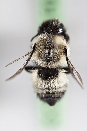 (Megachile CHL09 - CCDB-28316 F01)  @12 [ ] CreativeCommons - Attribution (2015) Laurence Packer York University