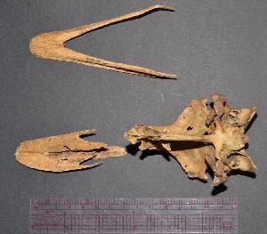 (Rhea americana - SCT_579)  @11 [ ] c (2015) Museo Nacional de Historia Natural Museo Nacional de Historia Natural