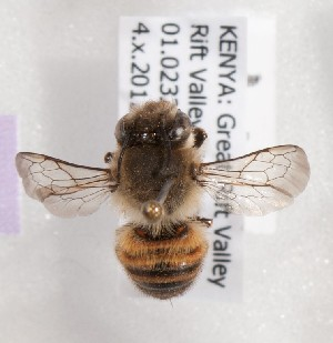 (Megachile KEN17 - CCDB-15266 B01)  @14 [ ] CreativeCommons - Attribution Non-Commercial Share-Alike (2012) Packer Collection York University York University