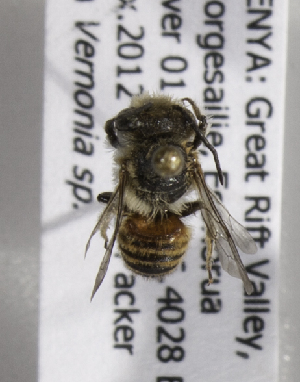 (Megachile HoA01 - CCDB-15266 C06)  @12 [ ] CreativeCommons - Attribution Non-Commercial Share-Alike (2012) Packer Collection York University York University