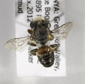 (Megachile KENLP10 - CCDB-15266 E10)  @11 [ ] CreativeCommons - Attribution Non-Commercial Share-Alike (2012) Packer Collection York University York University