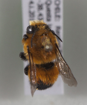 (Megachile semirufa - CCDB-19991 B03)  @13 [ ] Unspecified (default): All Rights Reserved (2013) Packer Collection York University York University