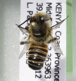 (Megachile KENLP29 - CCDB-19992 E08)  @13 [ ] Unspecified (default): All Rights Reserved (2013) Packer Collection York University York University