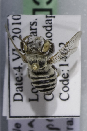 (Megachile sp. nov aff impressipuncta - CCDB-14514-B07)  @13 [ ] CreativeCommons - Attribution Non-Commercial Share-Alike (2012) Packer Collection York University York University