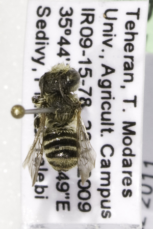 (Megachile sp. aff rotundata - CCDB-14514-D04)  @13 [ ] CreativeCommons - Attribution Non-Commercial Share-Alike (2012) Packer Collection York University York University