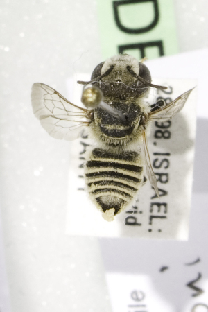 (Megachile fertoni - CCDB-14514-D05)  @13 [ ] CreativeCommons - Attribution Non-Commercial Share-Alike (2012) Packer Collection York University York University