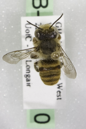 (Megachile GHAX GHAX - CCDB-14514-H10)  @11 [ ] CreativeCommons - Attribution Non-Commercial Share-Alike (2012) Packer Collection York University York University