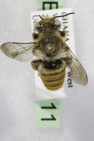 (Megachile GHAW GHAW - CCDB-14514-H11)  @14 [ ] CreativeCommons - Attribution Non-Commercial Share-Alike (2012) Packer Collection York University York University