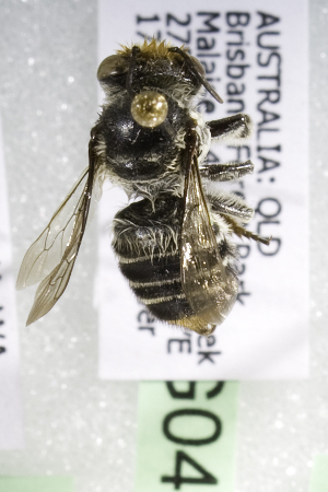 (Megachile AUS8 - CCDB-14515-G04)  @11 [ ] CreativeCommons - Attribution Non-Commercial Share-Alike (2012) Packer Collection York University York University