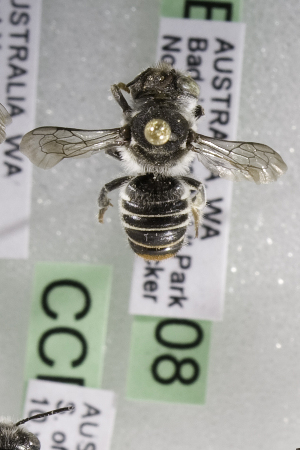 (Megachile AUS2 - CCDB-14515-G08)  @11 [ ] CreativeCommons - Attribution Non-Commercial Share-Alike (2012) Packer Collection York University York University