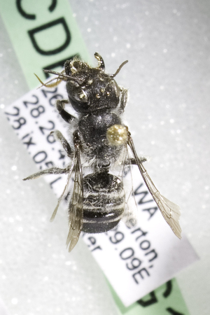 (Megachile AUS5 - CCDB-14515-G11)  @13 [ ] CreativeCommons - Attribution Non-Commercial Share-Alike (2012) Packer Collection York University York University