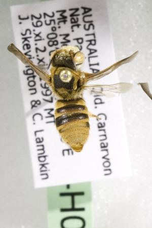(Megachile AUS12 - CCDB-14515-H02)  @11 [ ] CreativeCommons - Attribution Non-Commercial Share-Alike (2012) Packer Collection York University York University