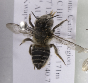 (Megachile AFR01 - CCDB-15253 E01)  @13 [ ] CreativeCommons - Attribution Non-Commercial Share-Alike (2012) Packer Collection York University York University